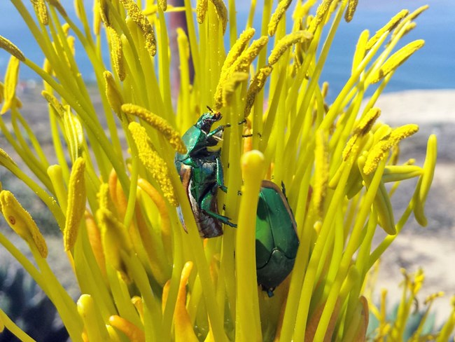 Two irridescent green beetles visiting a Shaw's agave flower