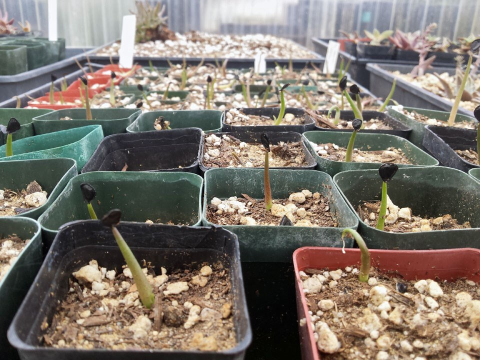 Many rows of individually-potted, recently-sprouted Shaw's agave seedlings in a greenhouse