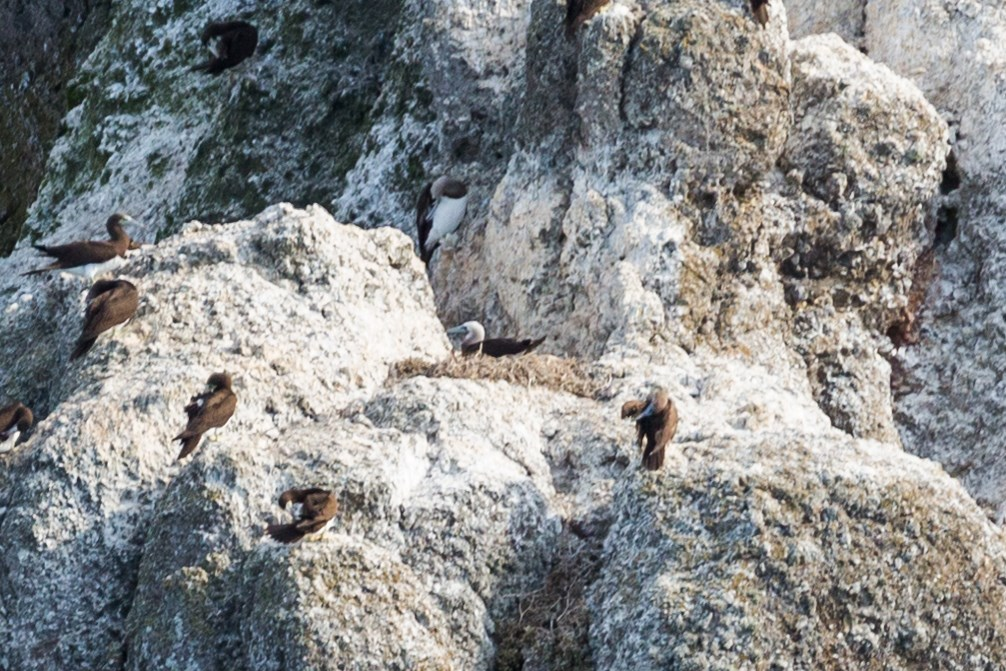 Several brown boobies on guano-covered rocks, including one sitting on a large nest