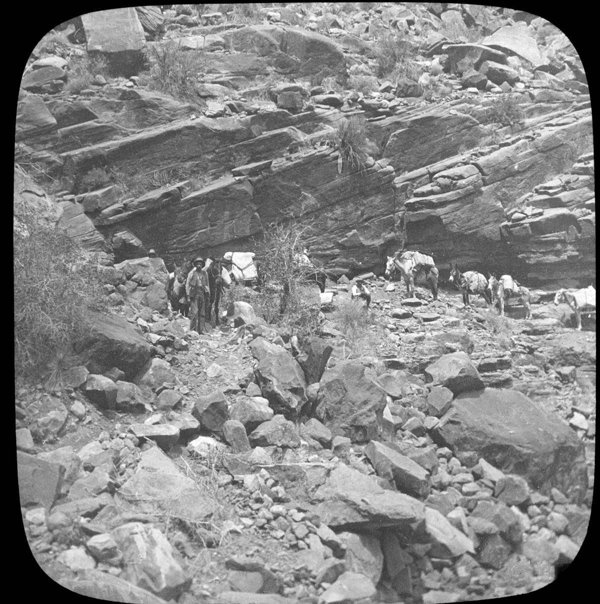 Burros lead by a pioneer walking across a rocky landscape.