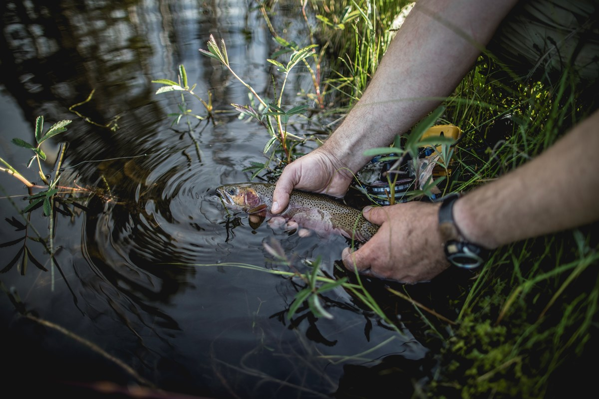 An angler holds a fish gently in the water as the fish is released.