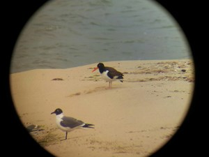 American Oystercatcher viewed through a spotting scope