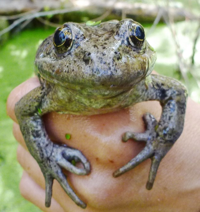 A full-grown California red-legged frog in the hand of a biologist.