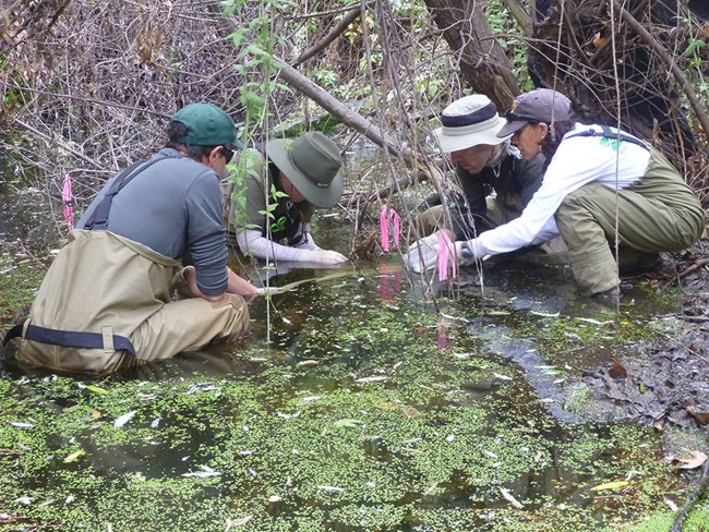 Biologists wearing waders, sitting in a stream collecting part of a California red-legged frog egg mass