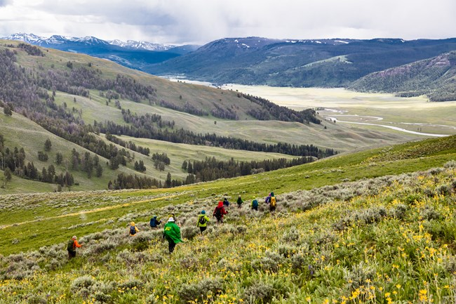A group of people hikes through a meadow of flowers, sage brush, and grass in Yellowstone National Park.
