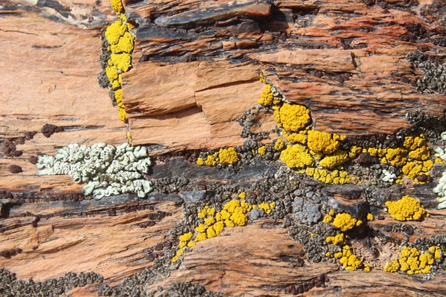 Small yellow, white, grey, and black lichen cover a rock at Petrified Forest National Park.