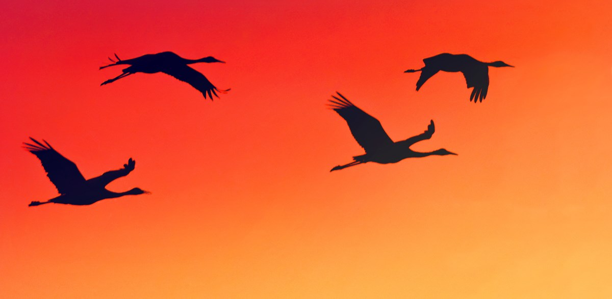 Sand-hill cranes against an orange, sunset sky