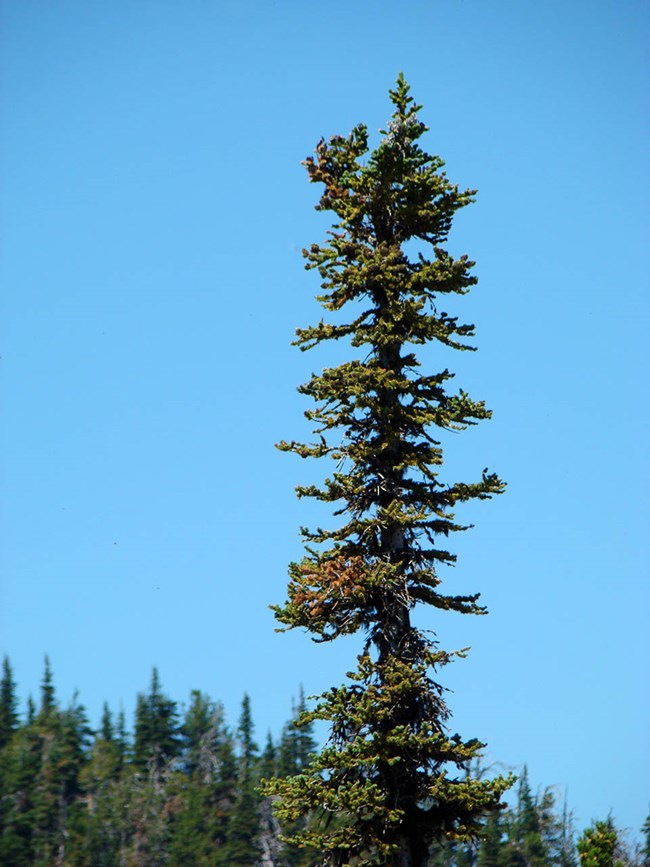 Fir tree with damage as a result of balsam woolly adelgid infestation