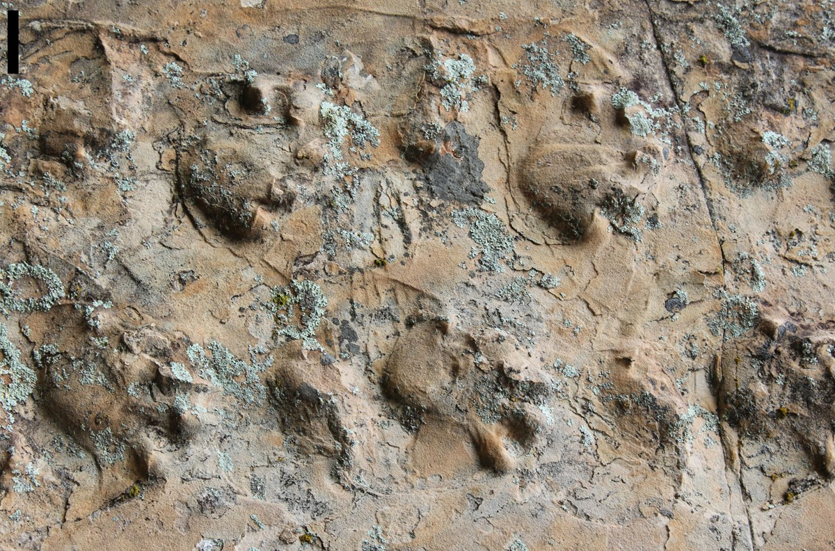 Close-up view of the Ichniotherium trackway