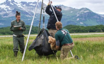 researchers weigh a bear in a sling