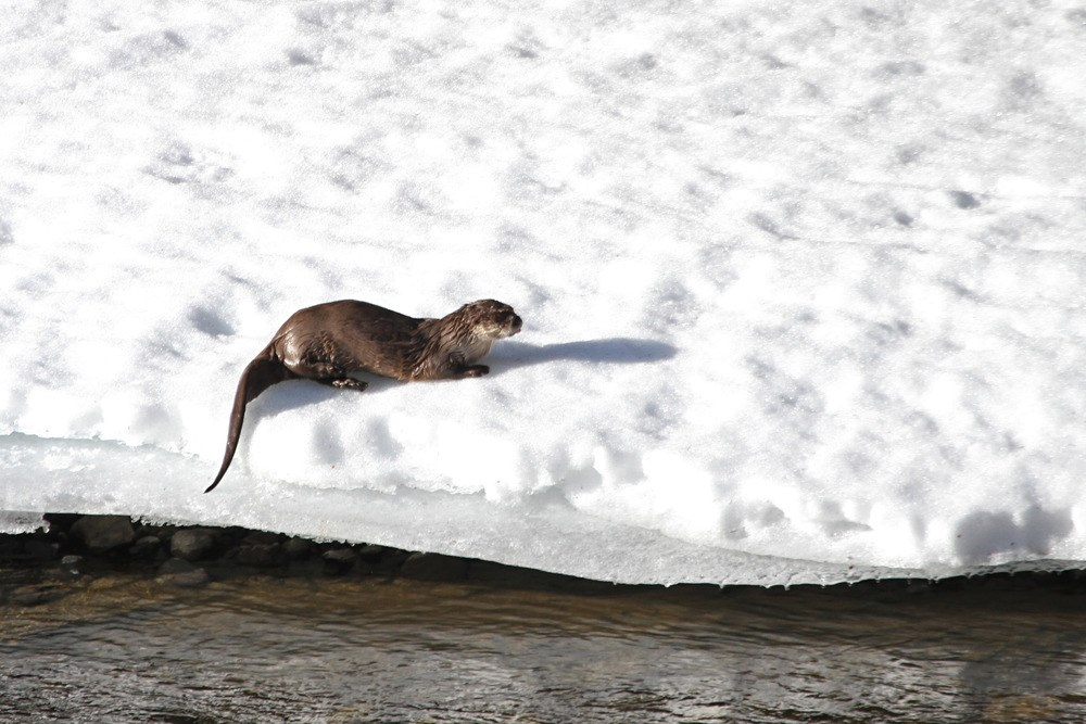 river otter on snowy bank