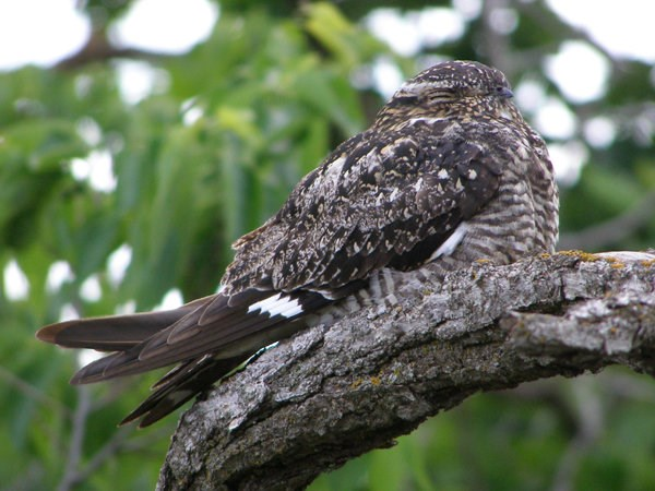 Common nighthawk perched on a branch with its eyes closed