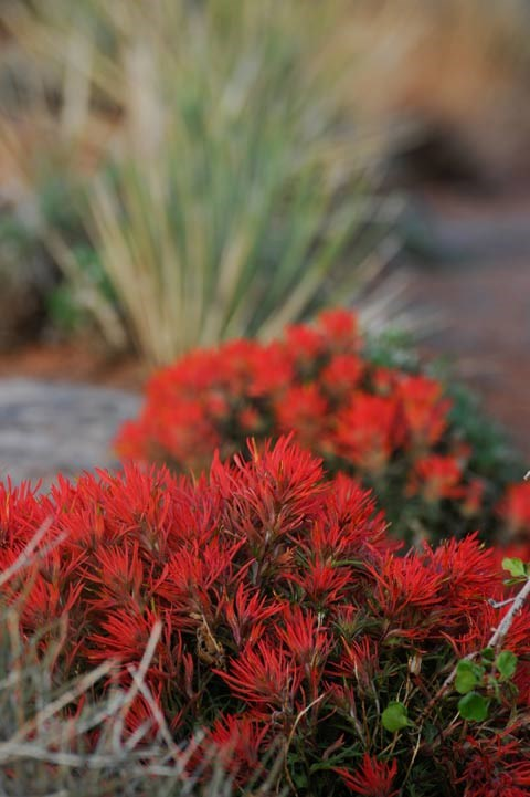 cluster of red desert paintbrush blooms