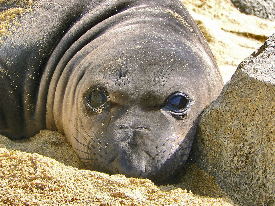 Weaned elephant seal pup at Point Reyes National Seashore