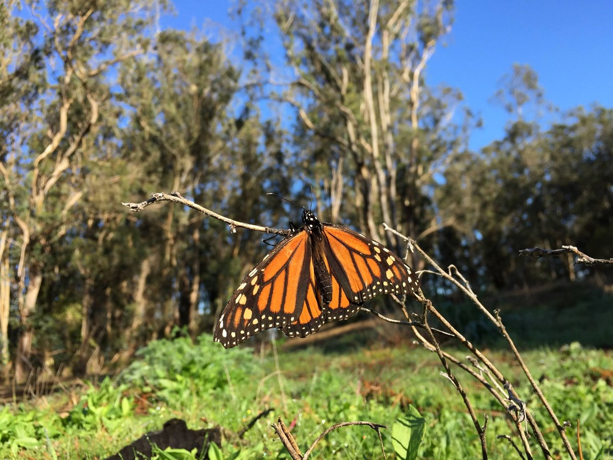 Orange and black butterfly resting on a twig. Eucalyptus trees stand in the background.