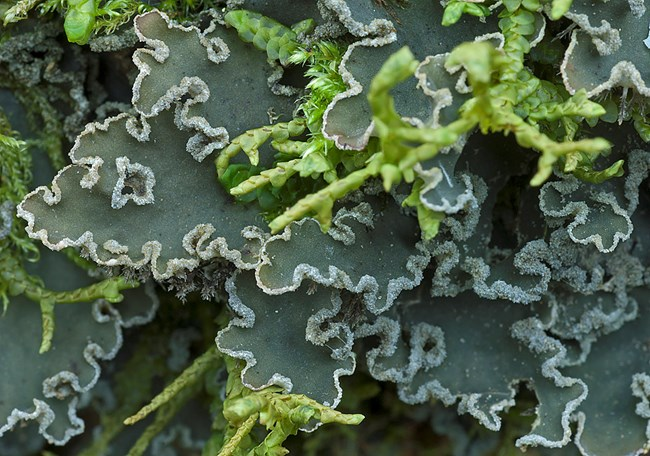 Richly colored foliose lichen, close up