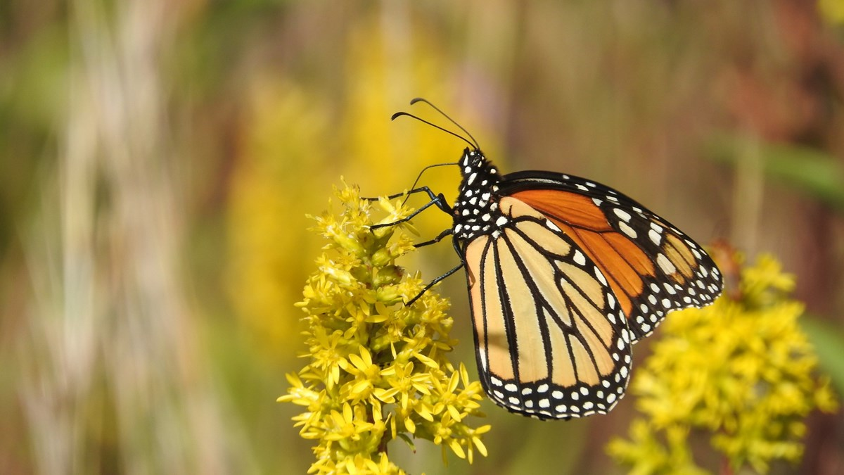 A monarch butterfly feeds on yellow flowers.
