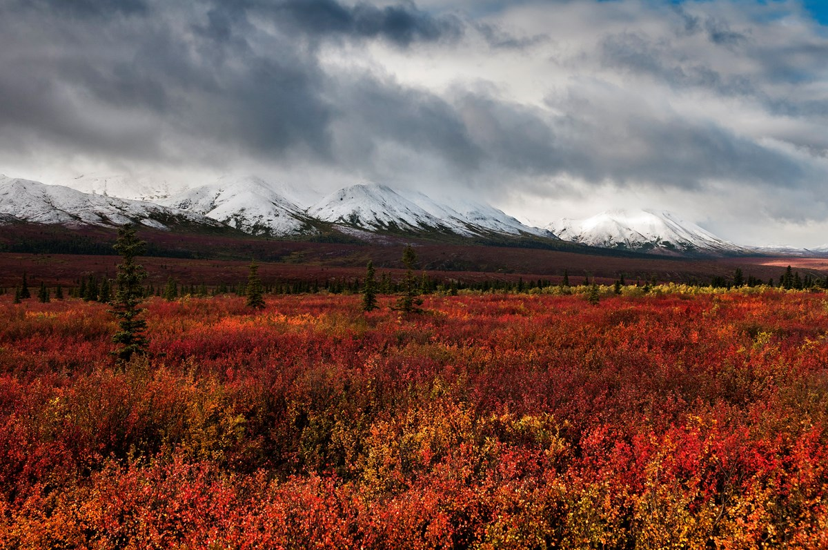 Field of red fall bushes with mountains in background.