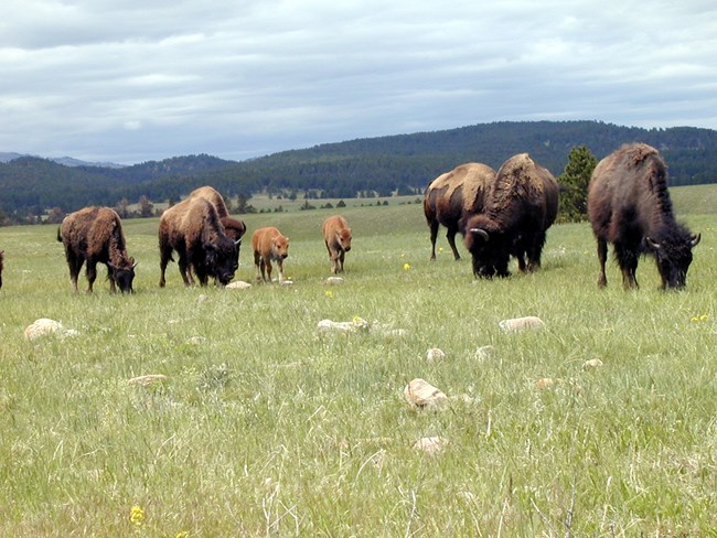 Bison grazing on a green field