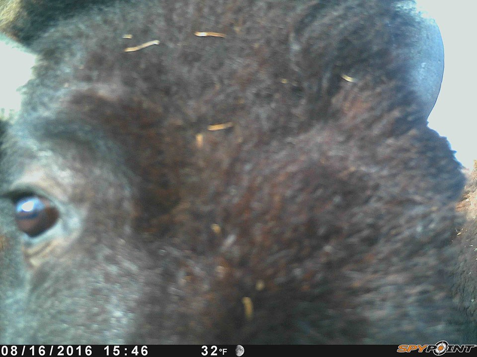wildlife camera image capture of a very close-up bison face