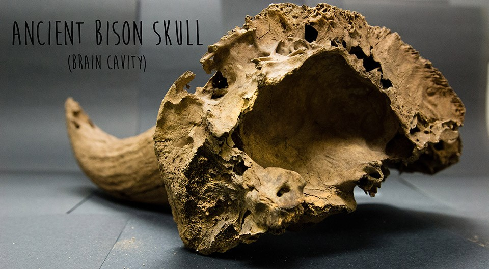 porous brain cavity of ancient bison skull