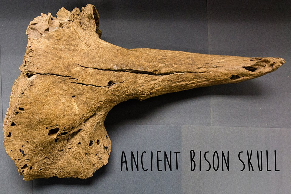 light brown horn and frontside of partial skull of an ancient bison