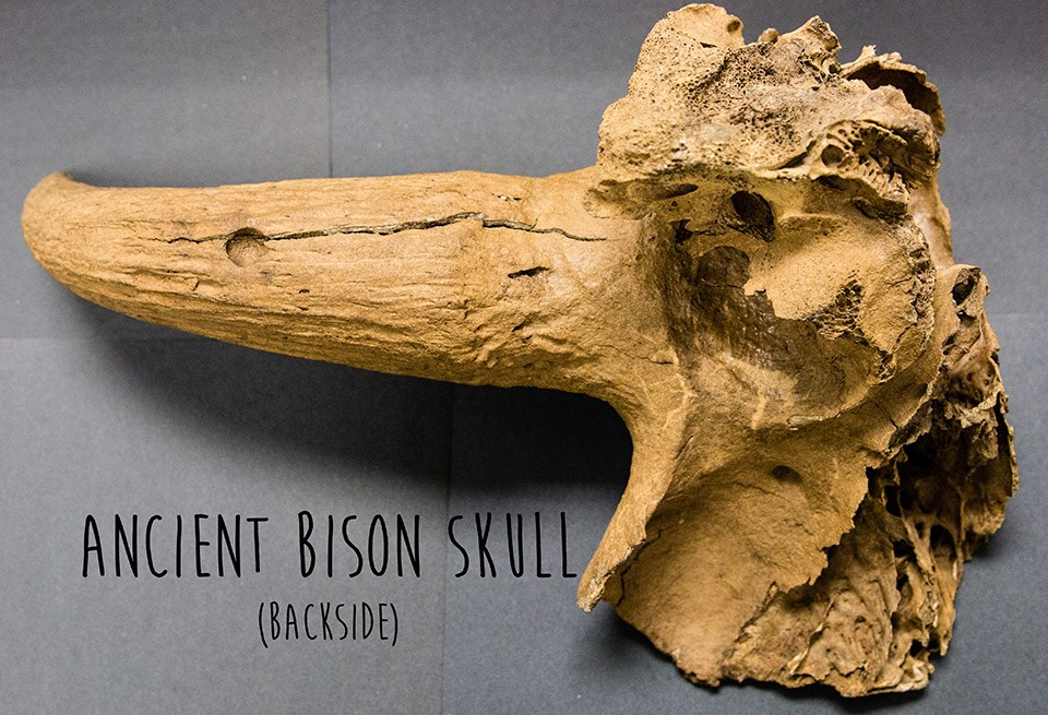 backside of a light brown horn and partial skull of an ancient bison
