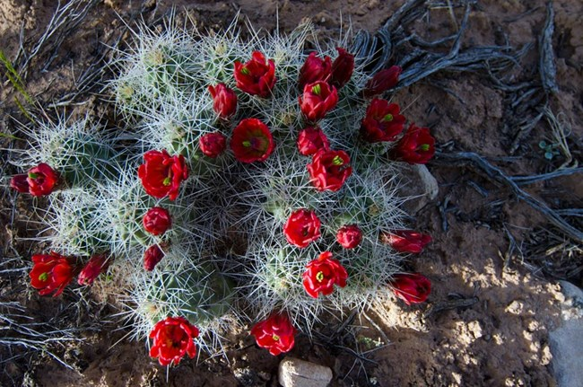 red blooms on cluster of claret cup cactus