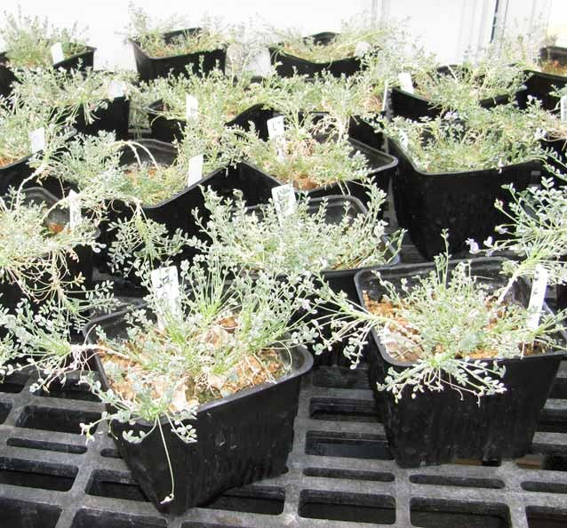 Sentry milk-vetch plants grown in the greenhouse provide seeds and seedlings for reintroduction.