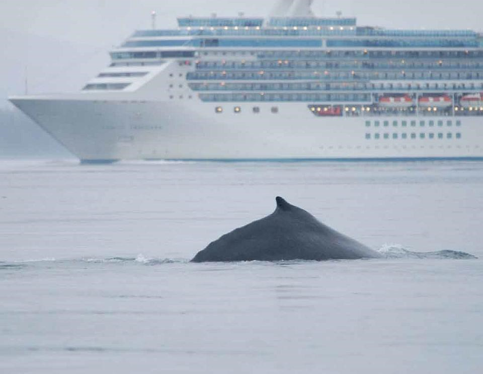 An endangered humpback whale surfaces in Glacier Bay National Park and Preserve with a cruise ship in the background.