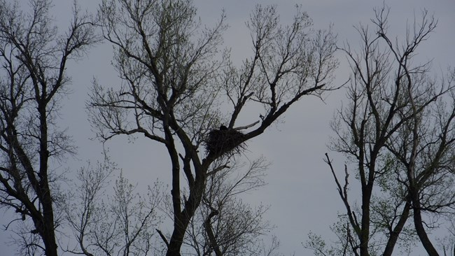 distance view of eagle nest in a tree