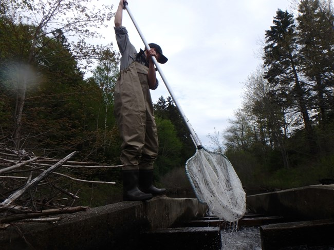 Researcher netting alewives in local Maine pond.