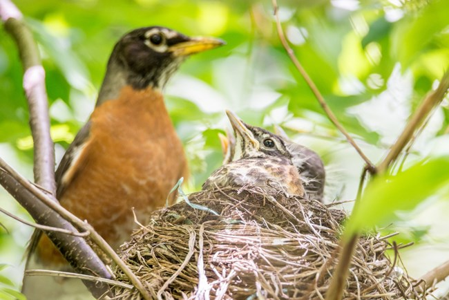 American robin nestlings with their parent behind