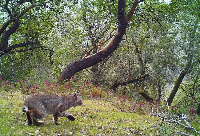 Camera trap image of a bobcat hunting on a hillside