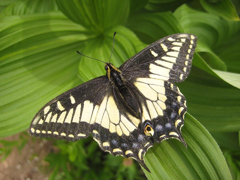 Dorsal view of an anise swallowtail butterfly