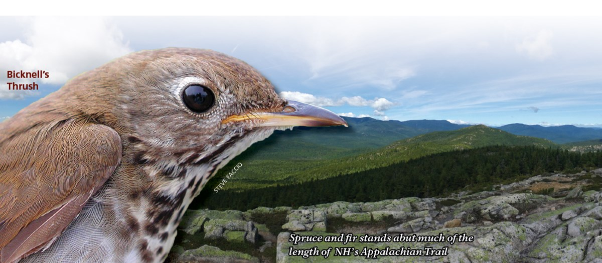 Close-up of a Bicknell's Thrush with spruce-fir habitat in background