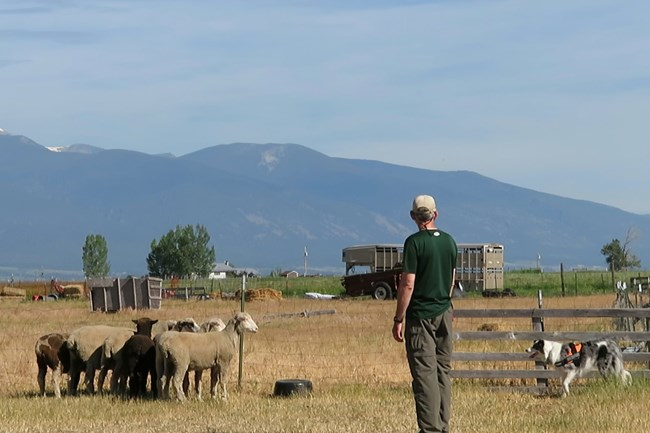 Border collie, handler, and domestic sheep against a mountain backdrop