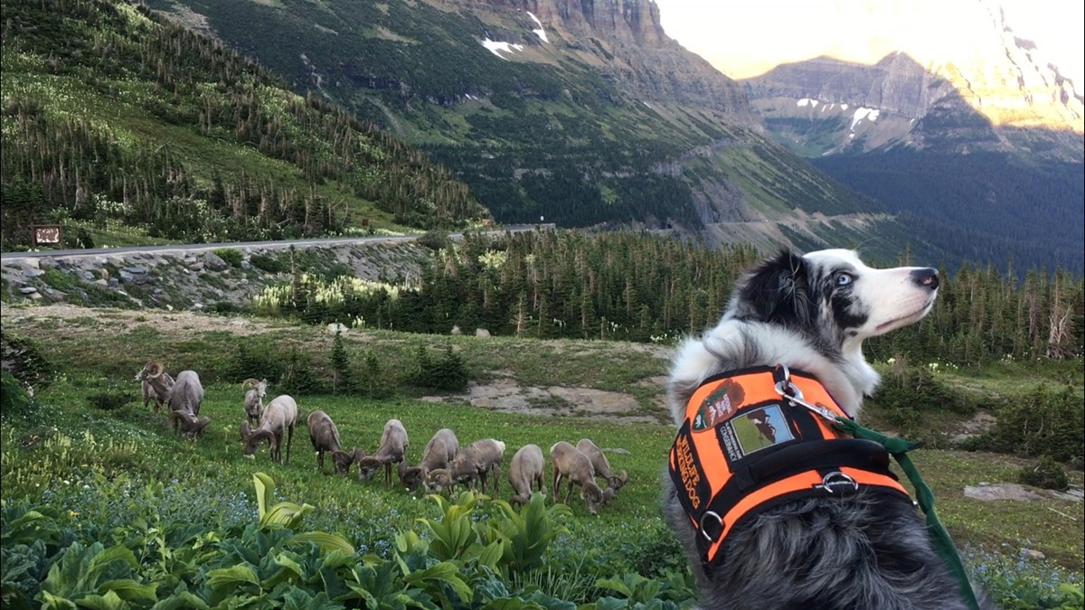 Dog in working vest looks up at handler, with bighorn sheep on a hillside below.