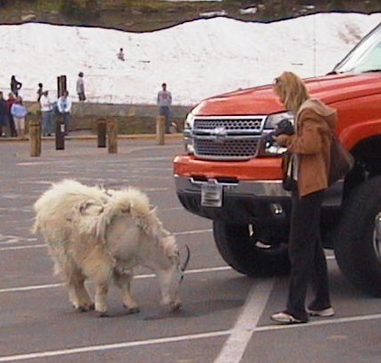 Visitor closely approaches a mountain goat in parking lot