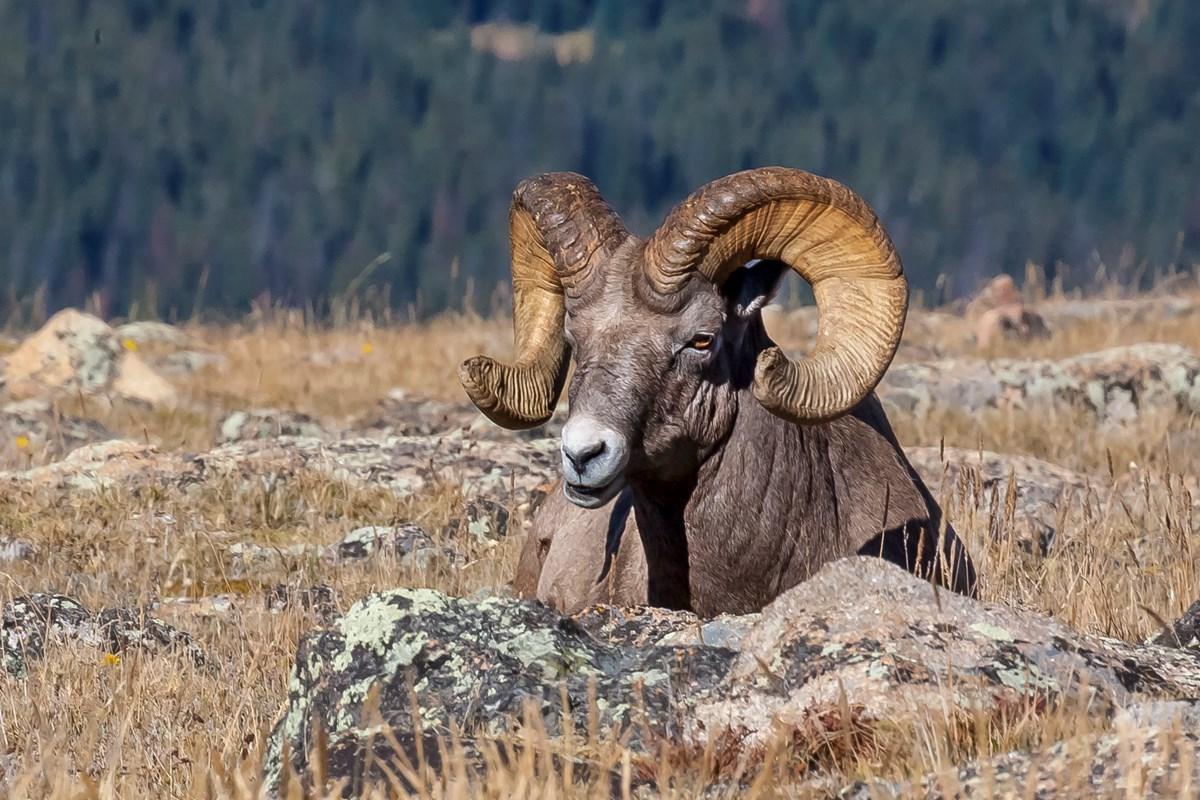 Bighorn Sheep Population (U S  National Park Service)