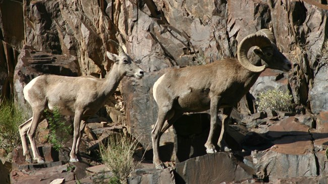 A male and female Deserst Bighorn sheep walk single file on a canyon ledge.