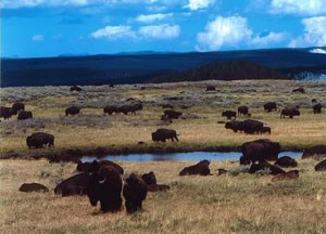 A herd of bison lounging about a water source and a grassy plain