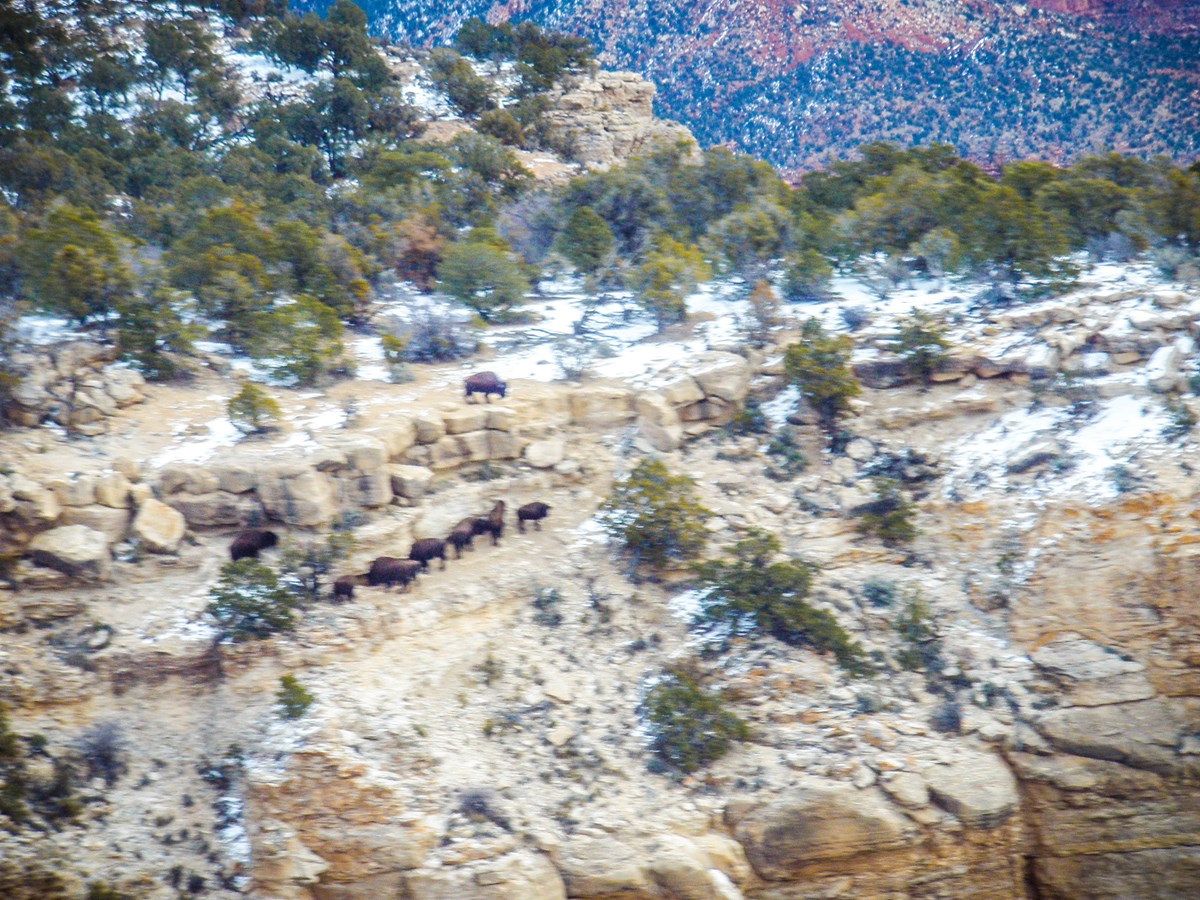 Group of ten bison exploring a cliff's rocky edge, surrounded by patches of snow and sparse trees.