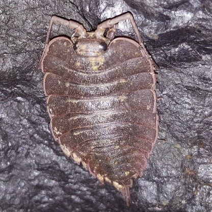 Isopod on a sea cave wall