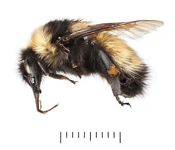 Close up of new bee species