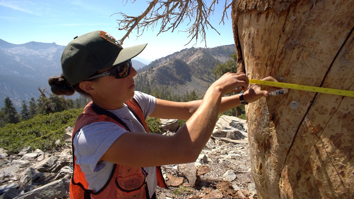 NPS field biologist measures the diameter of a foxtail pine.