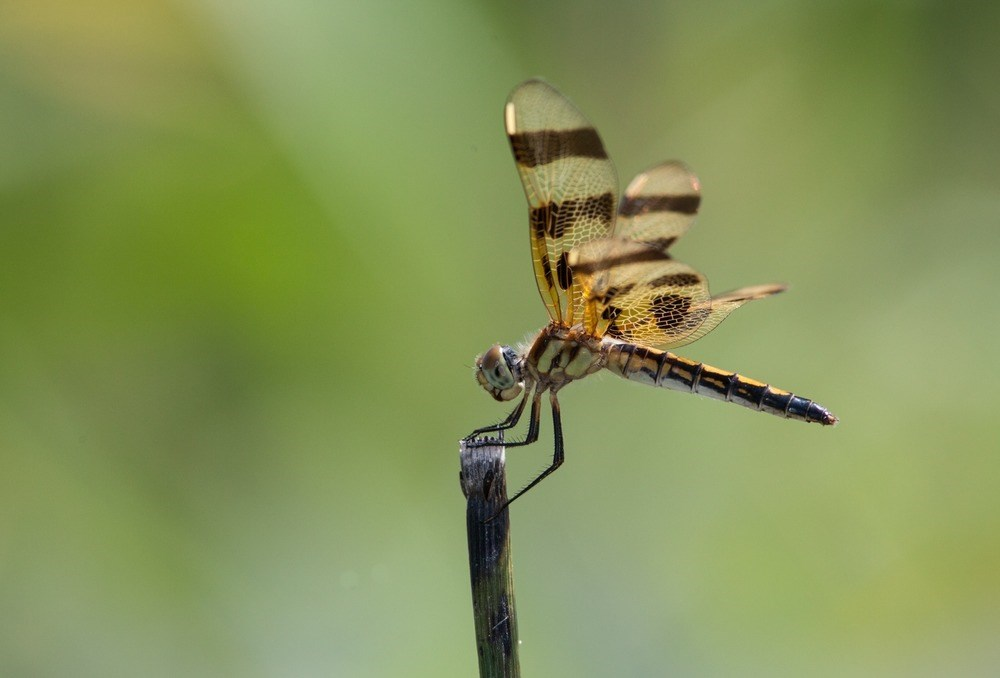 A dragonfly displays stunning wings in the sunshine.