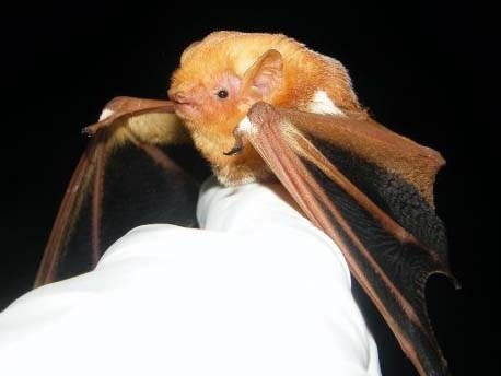 An eastern red bat held by a biologist.