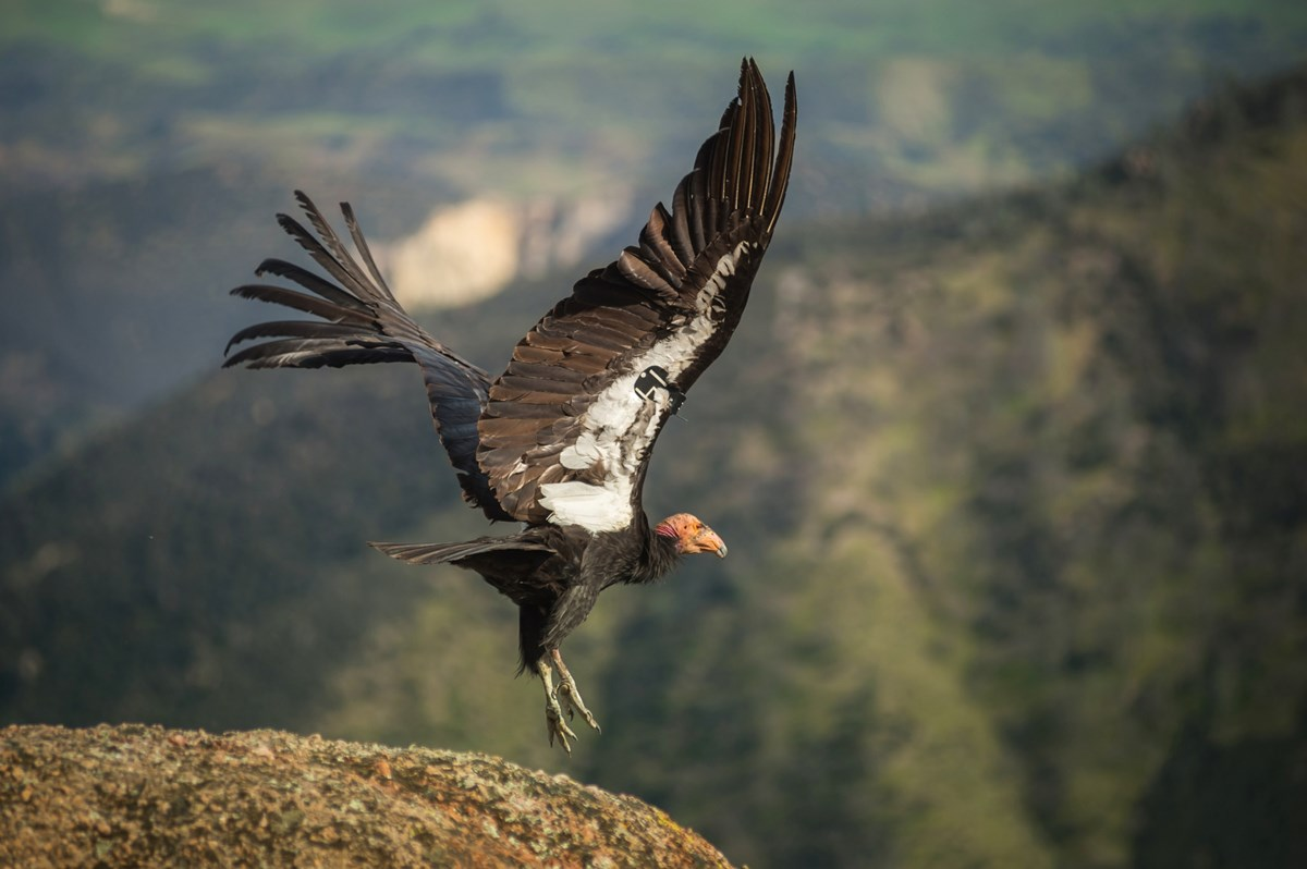 condor takes off from rock