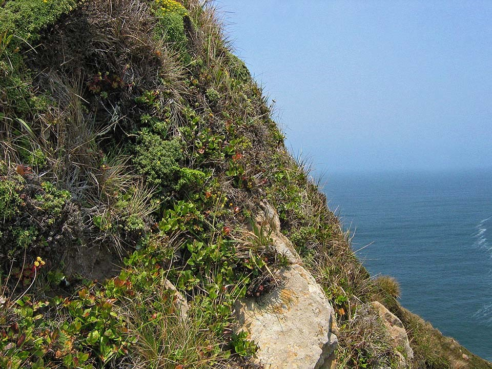 A diverse assortment of coastal scrub species growing on a steep, ocean-facing bluff